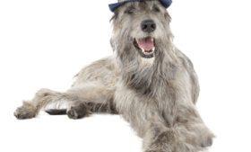 Curiosidades da terra verde: Irish Wolfhound, o gigante cão irlandês