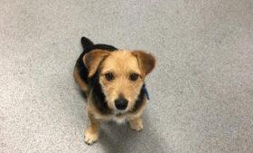 Irish Trail procura dono de cão que viajou de Newbridge a Heuston