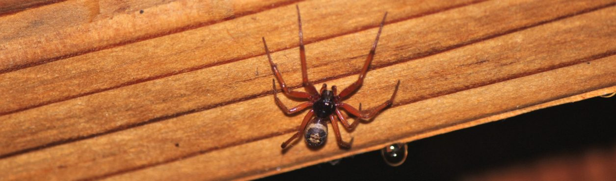 Aranha Falsa Viúva-Negra aterroriza Irlanda no verão