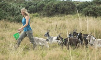 Old Irish Goats: cabras ancestrais combatem incêndios na Irlanda